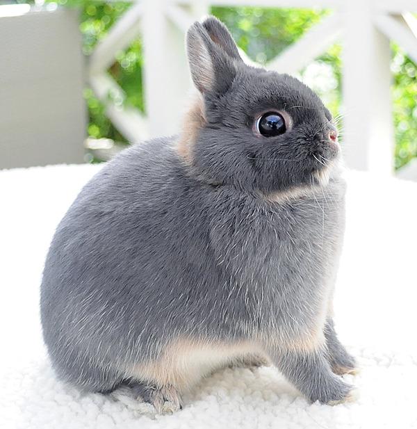 фото карликовый кролик голландский
